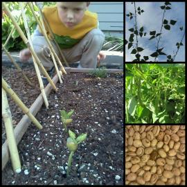 From Left to Right. Boy studies bean sprouts, beans climbing twine, green beans ready to harvest, bean seeds drying for next year.