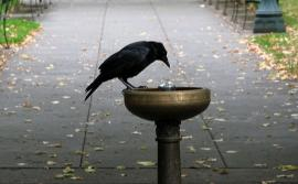 Crow on Portland water fountian