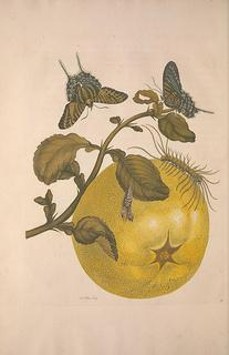 Image Caption: Life cycle illustration from Maria Sibylla Merian's Metamorphosis insectorum surinamensium. Amsterdam :Voor den auteur, als ook by G. Valck,[1705]. from the Biodiversity Heritage Library's image collection on Flickr. The Biodiversity Heritage Library (BHL) is a consortium of natural history and botanical libraries that cooperate to digitize and make accessible online the legacy literature of biodiversity held in their collections.