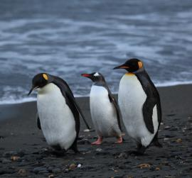 Three Penguins Walking