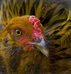 chicken.jpg by Tom Woodward on Flickr, license CC BY 2.0.