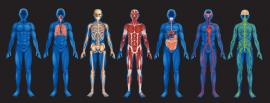 Images of human bodies depicting the major body systems like: respiratory, skeletal,musculatory, digestive, and sensory systems