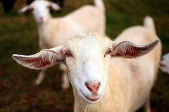 Smiley Goat photo by Martin Cathrae on Flickr, license CC BY 2.0.